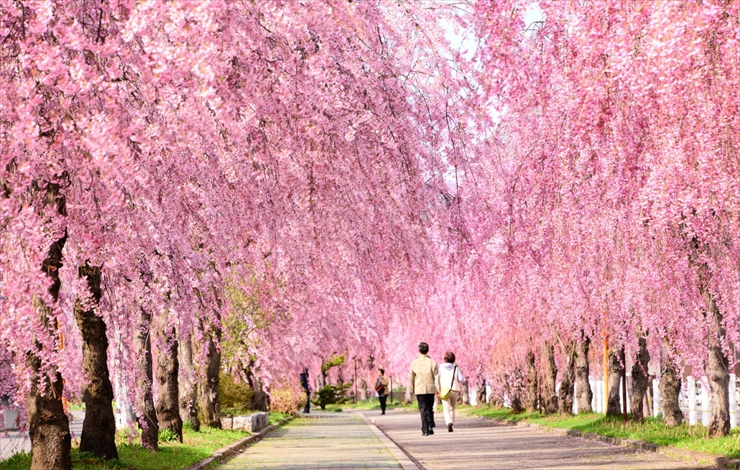 cherry blossom of Nicchusen Kinen Bicycle/Pedestrian Path