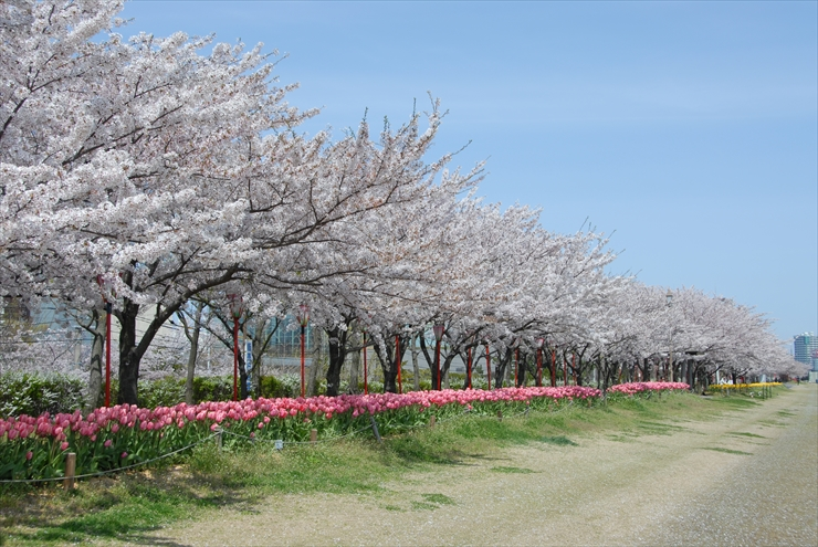 cherry blossomes of Shinano River Yasuragi-tei Embankment