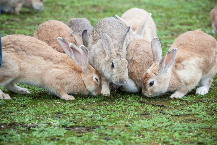 the Seto Inland Meet the rabbits of Okunoshima Island