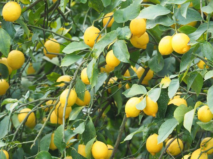 the Seto Inland Ikuchijima Island, a lemon haven